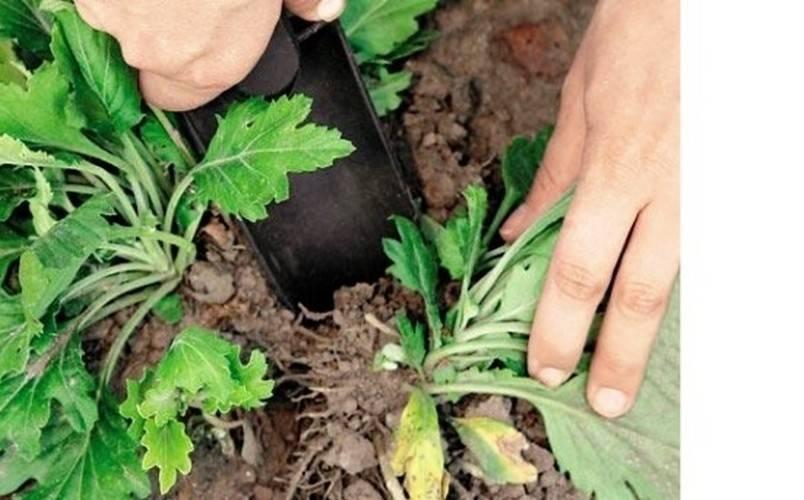 Как правильно посадить осенью хризантему, чтобы она не вымерзла зимой