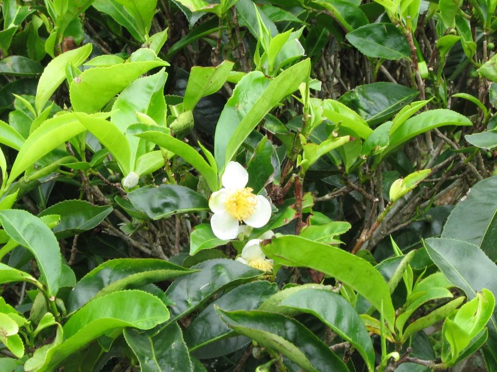 Камелия китайская (чайный куст): выращивание и уход - индасад