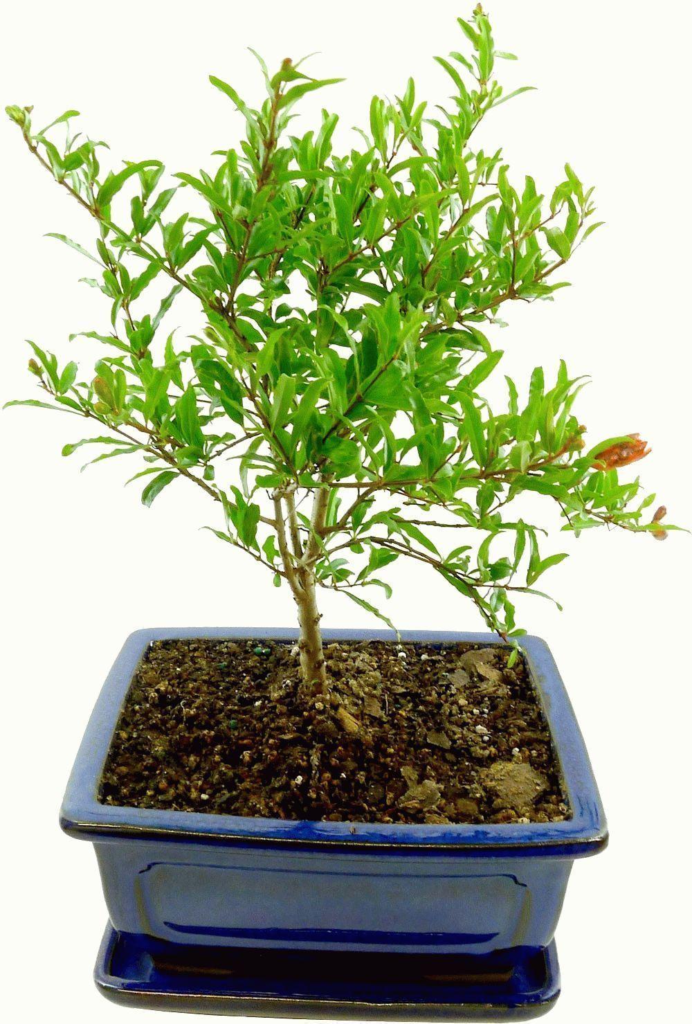Как вырастить гранат из косточки в домашних условиях чтобы были плоды: выбор и подготовка посадочного материала, уход за экзотическим деревцем