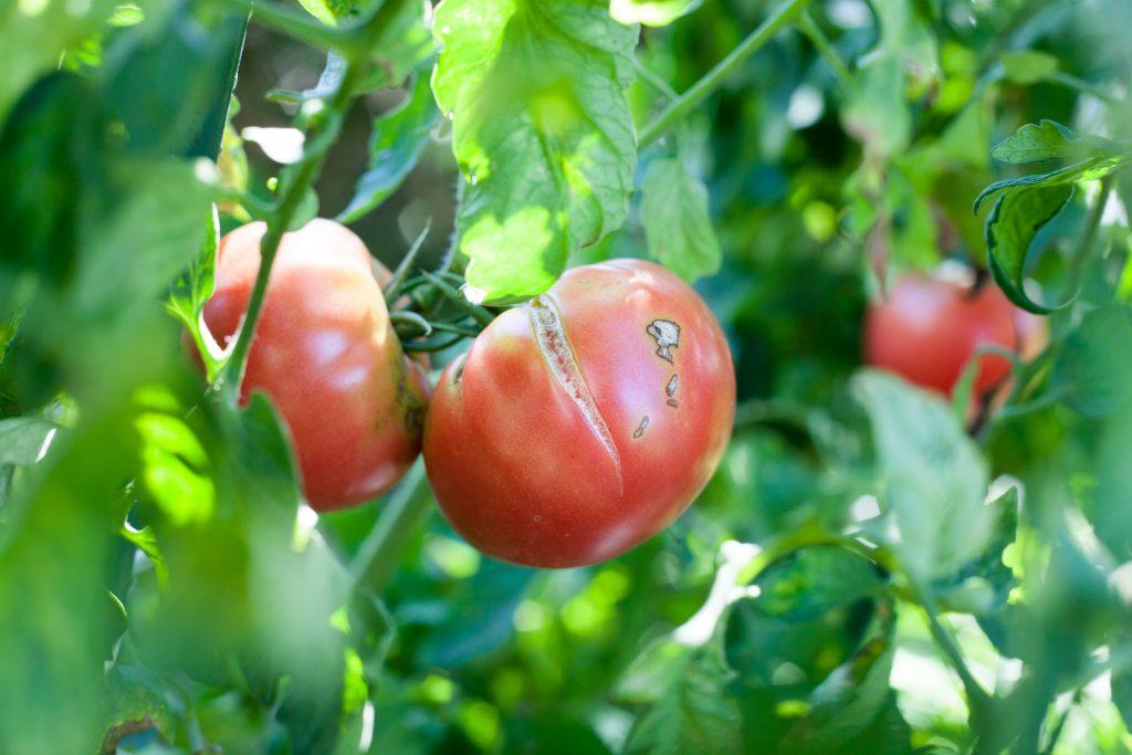 Почему трескаются помидоры в теплице при созревании: почему лопаются томаты в теплице