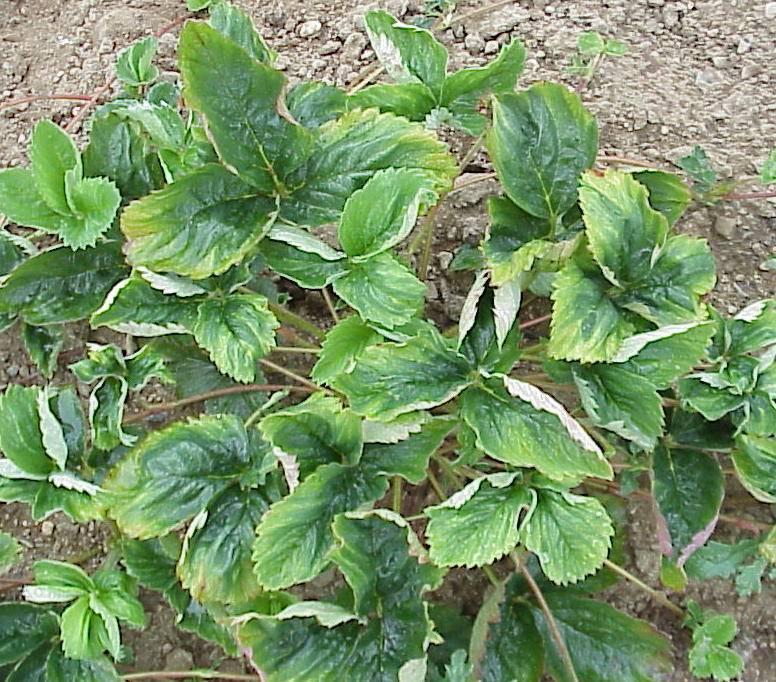 Почему листья у клубники засыхают и скручиваются, что делать и чем обработать