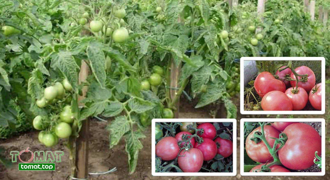 Томат клуша: описание и характеристика сорта, фото, отзывы, урожайность, видео