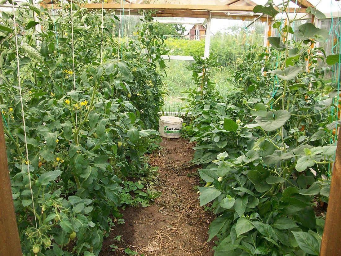 Совместимость томатов, перца и баклажан в теплице - можно ли сажать рядом