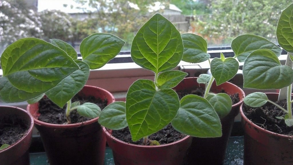 Физалис: выращивание из семян в домашних условиях
