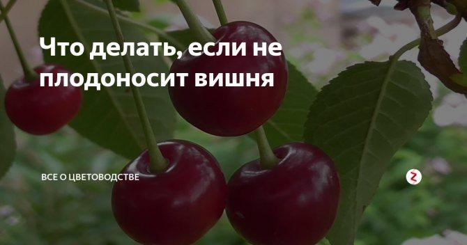 Почему не плодоносит вишня, что делать, если цветет, а ягод нет