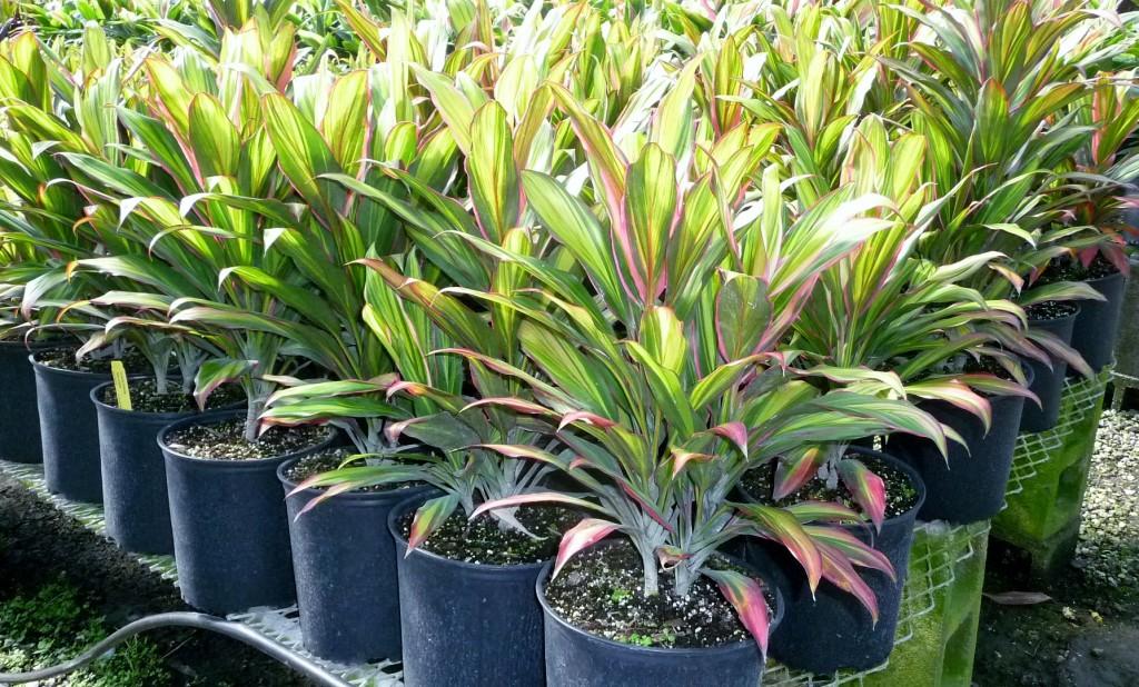 Простые секреты по выращиванию и уходу за тропической красавицей кордилиной в домашних условиях