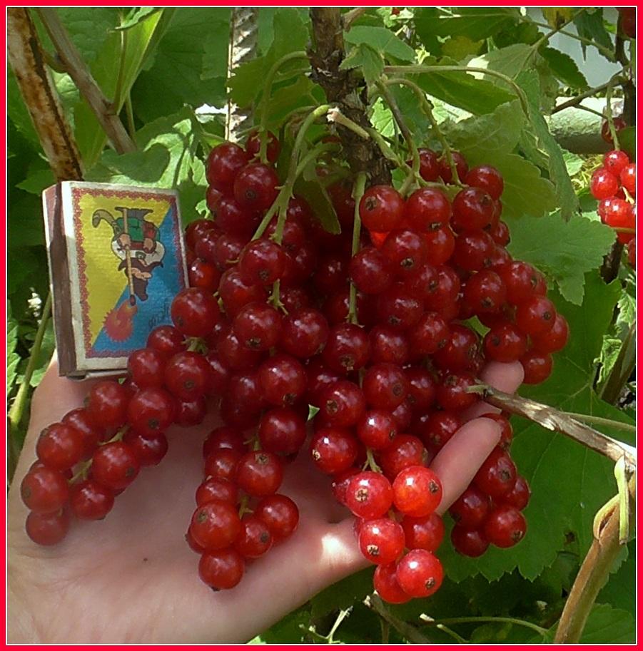 Красная смородина мармеладница: описание сорта, правила выращивания с фото