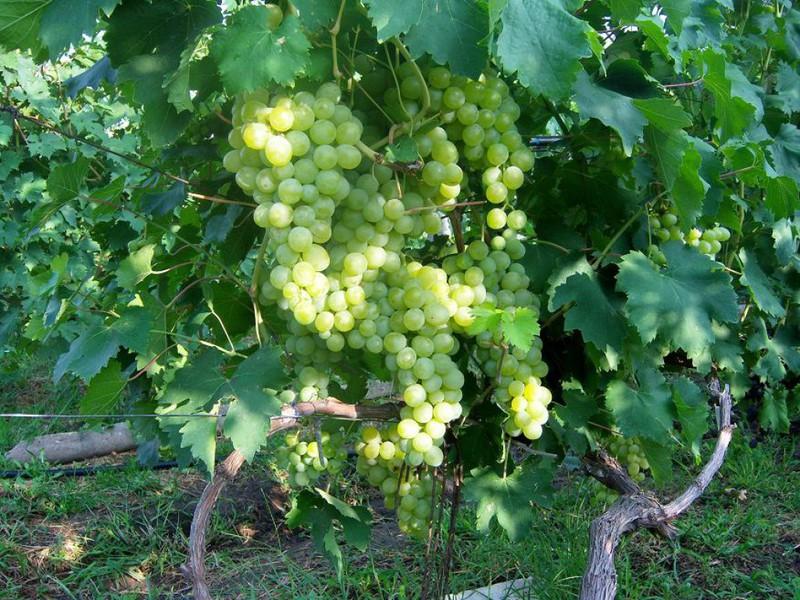 Описание сорта винограда верона: фото и отзывы | vinograd-loza