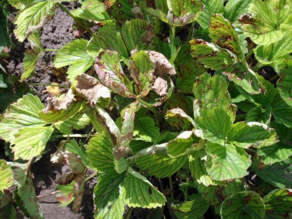 Почему скручиваются листья у клубники: что нужно растению и устранение причины поражения листьев (видео инструкции + 110 фото)