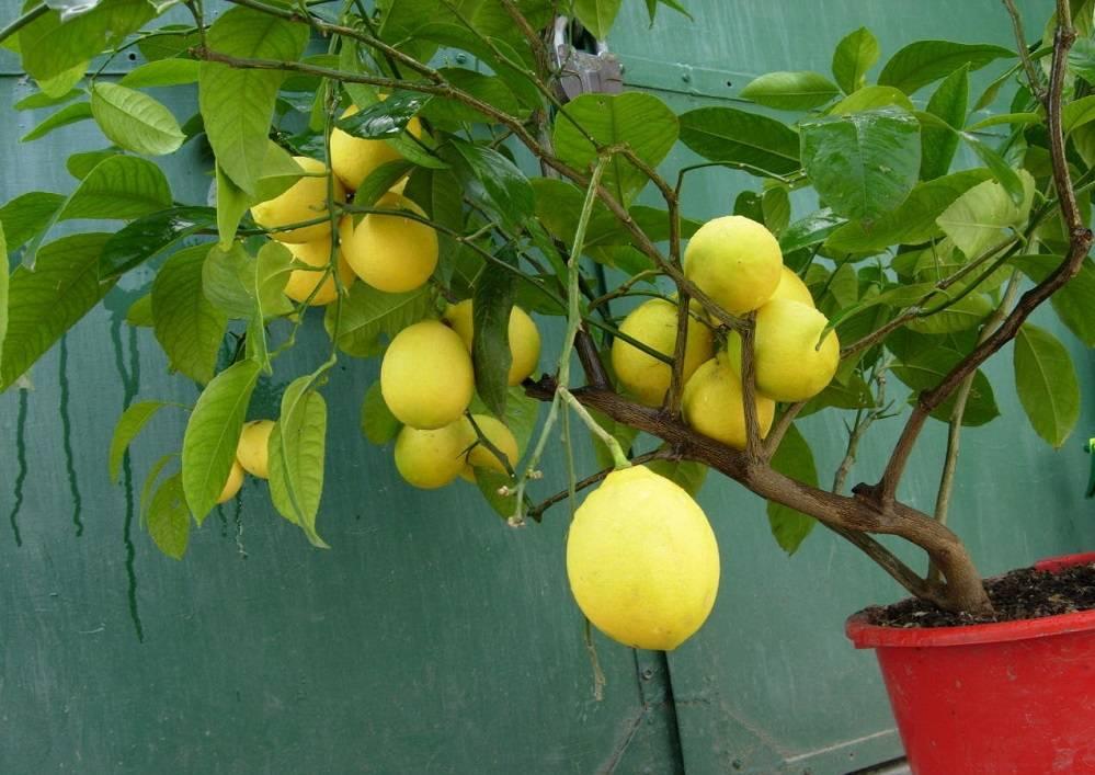 Уход за молодыми плодовыми деревьями