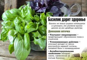 Сорта базилика: описание сортов и особенности ароматного растения | огородники