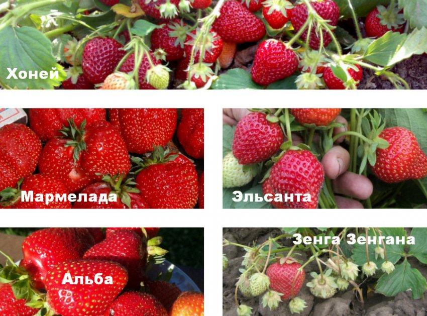 Когда клубника дает первый урожай – отличительные особенности разных сортов
