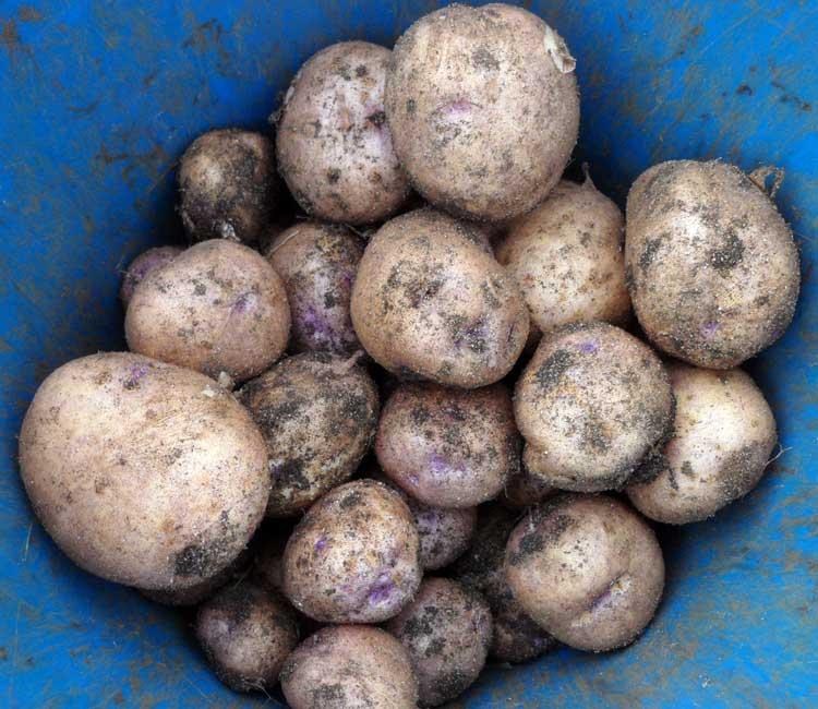 Сорт картофеля голубизна: описание сорта, полезные свойства, отзывы