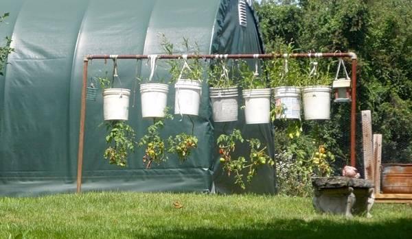 Помидоры в ведрах, выращивание вниз головой: плюсы и минусы посадки томатов вверх тормашками, фото, а также как просверлить дно и можно ли ждать урожая? русский фермер