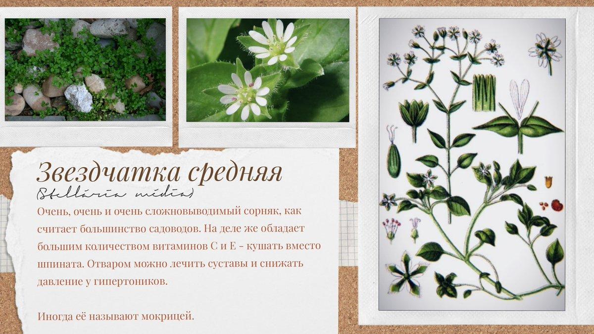 Трава мокрица — полезные свойства и применение нардной медицине - советы народной мудрости - медиаплатформа миртесен