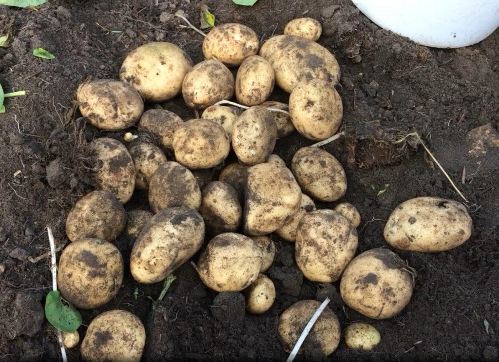 Картофель рогнеда: характеристика и описание сорта, фото, отзывы