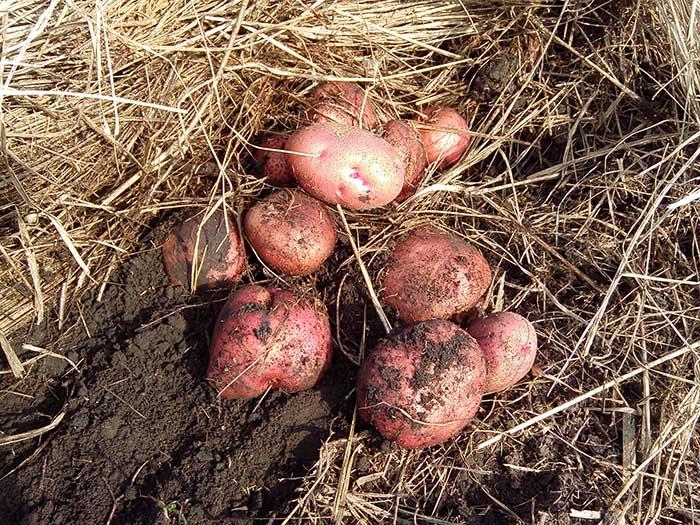 Отечественный среднепоздний картофель чародей: характеристика сорта, его описание и фото