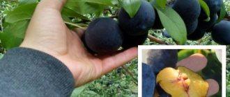 Посадка груши весной в ленинградской области: сорта для выращивания