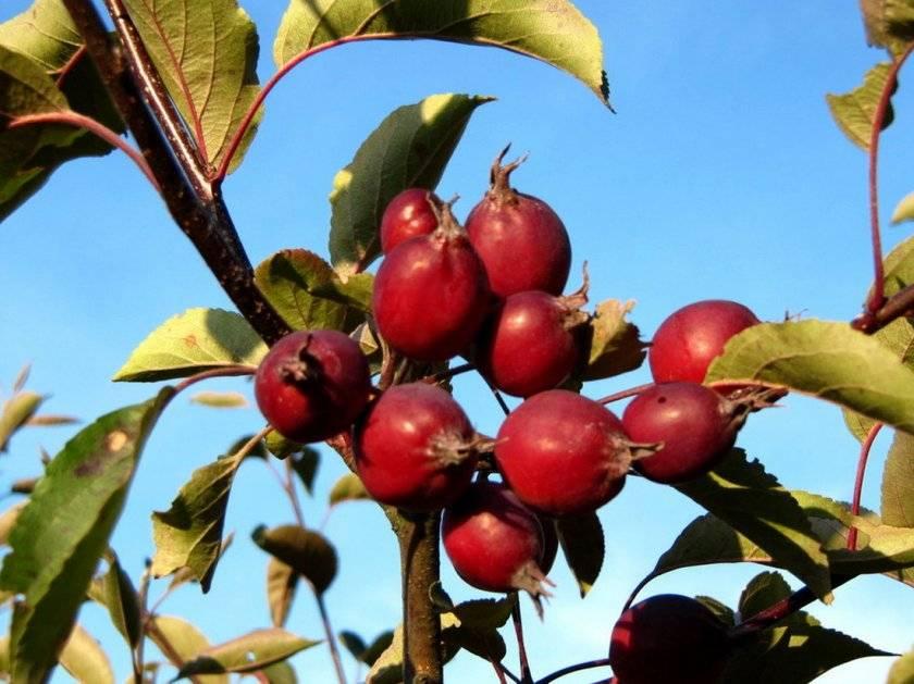 Яблоня ягодная сибирячка: описание декоративного сорта, фото