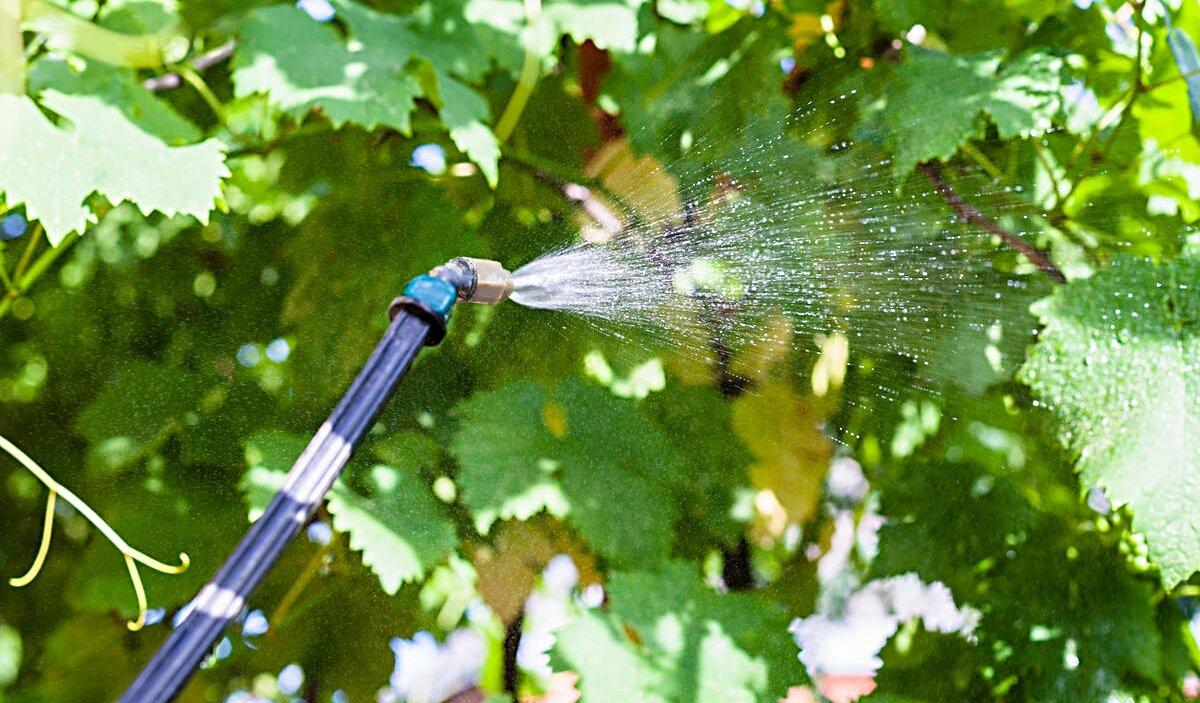 Методы борьбы с осами во время созревания винограда, как его защитить