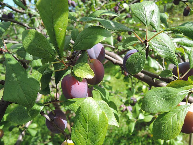 Агротехника выращивания сливы в ленинградской области — посадка и уход, лучшие сорта