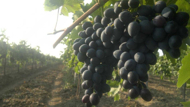 Винград молдова: описание сорта, выращивание и уход, недостатки и отзывы