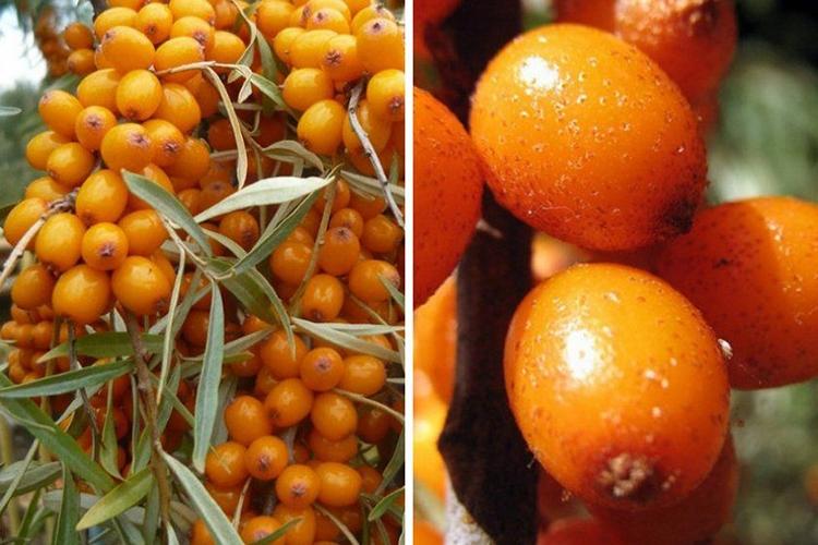 Растение облепиха: описание сортов, посадка, уход и выращивание, как разводить облепиху на участке