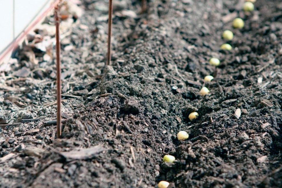 Выращивание гороха в открытом грунте - когда и как правильно сажать