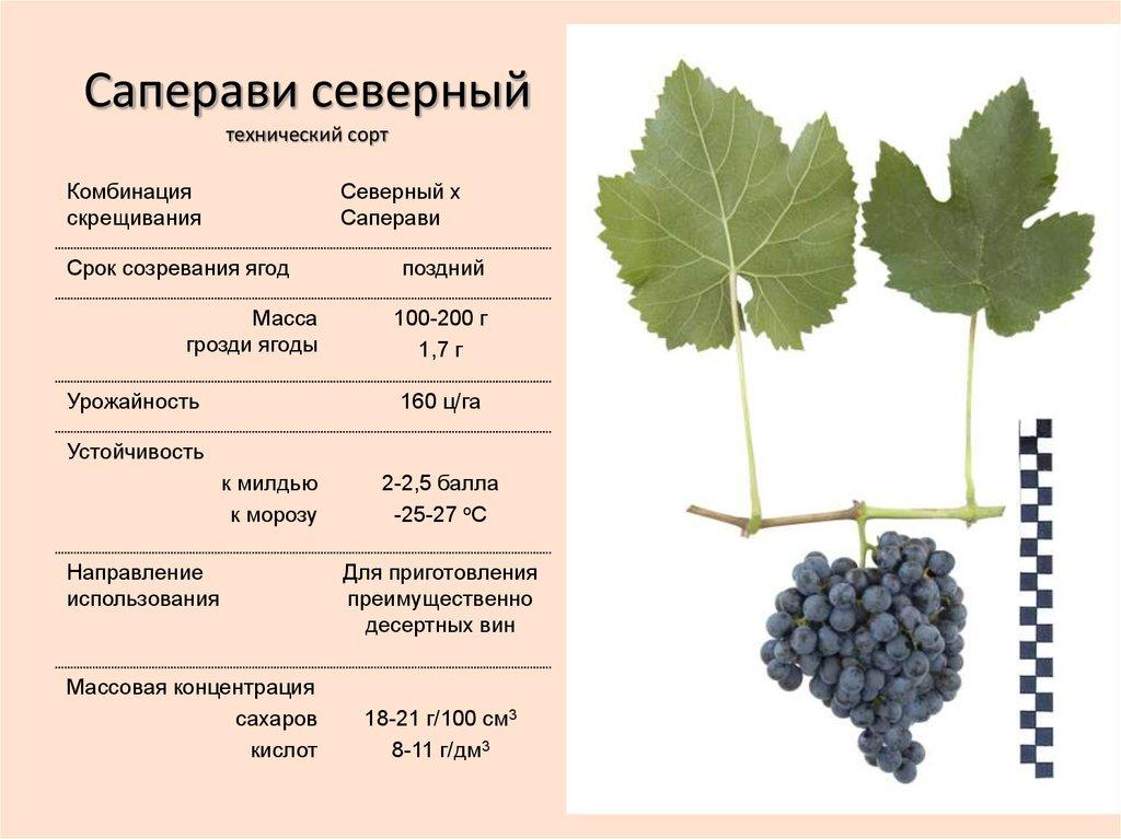 Виноград эффектной расцветки красотка. внешние признаки и правила культивирования