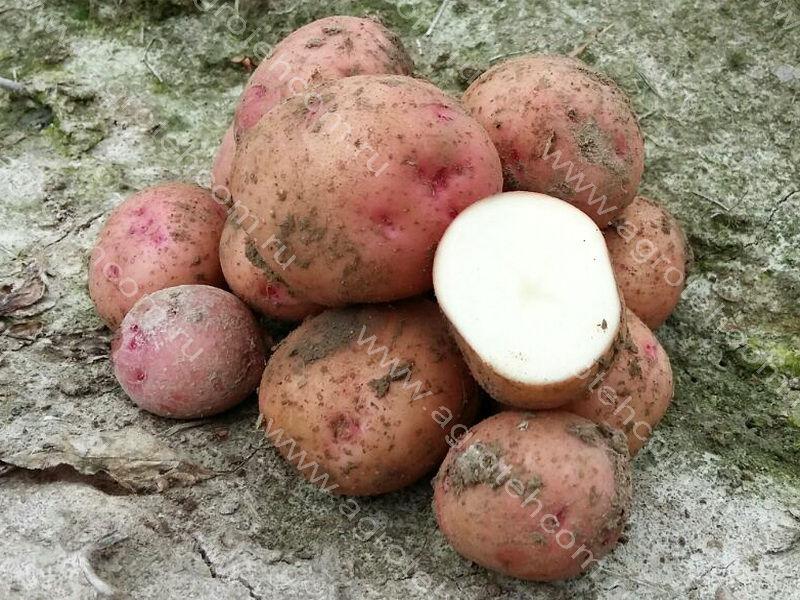 Сорт картофеля снегирь: описание, посадка и уход русский фермер