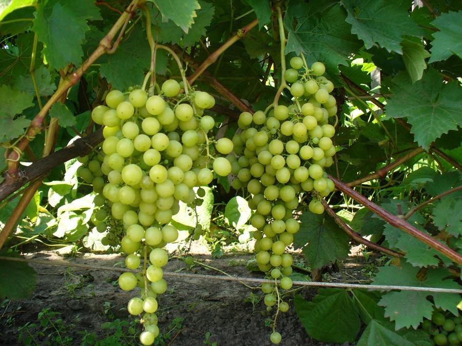 Что нужно знать, чтобы выращивать виноград в сибири