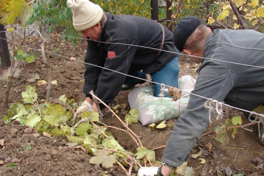 Лучшие способы и методы, как правильно на зиму укрывать виноград