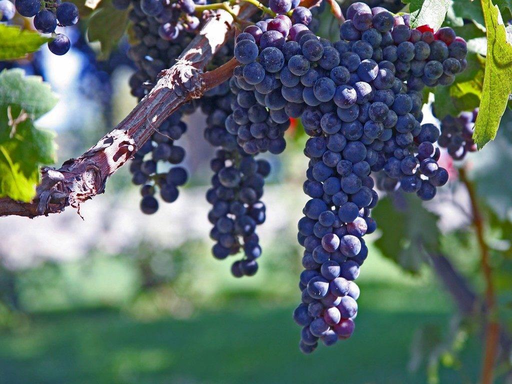 Виноград каберне совиньон: отзывы, выращивание, описание с фото