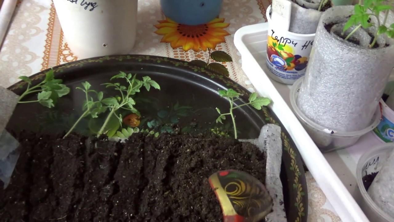 Как вырастить рассаду помидоров дома (пошаговая инструкция), фото, видео, когда сеять томаты на рассаду в 2019 году | спутниковые технологии