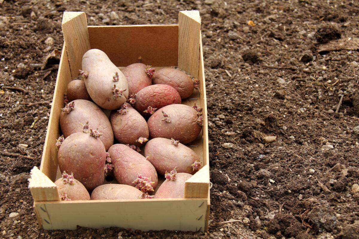 Подготовка и проращивание картофеля перед посадкой