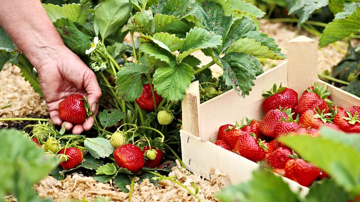 Выращивание клубники в теплице круглый год: уход и технология, видео и фото
