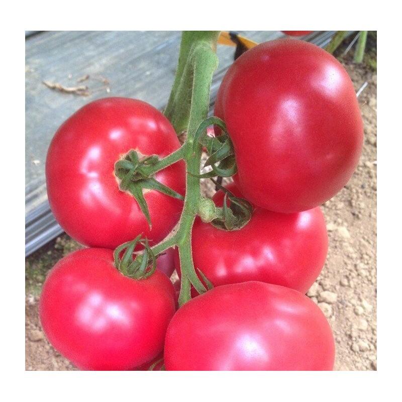 Сорта розовых томатов с описанием и фото