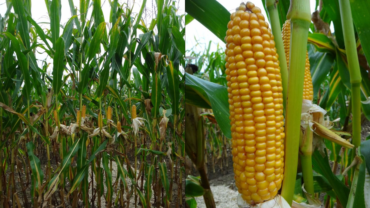 Все о сортах кукурузы: от а, доя