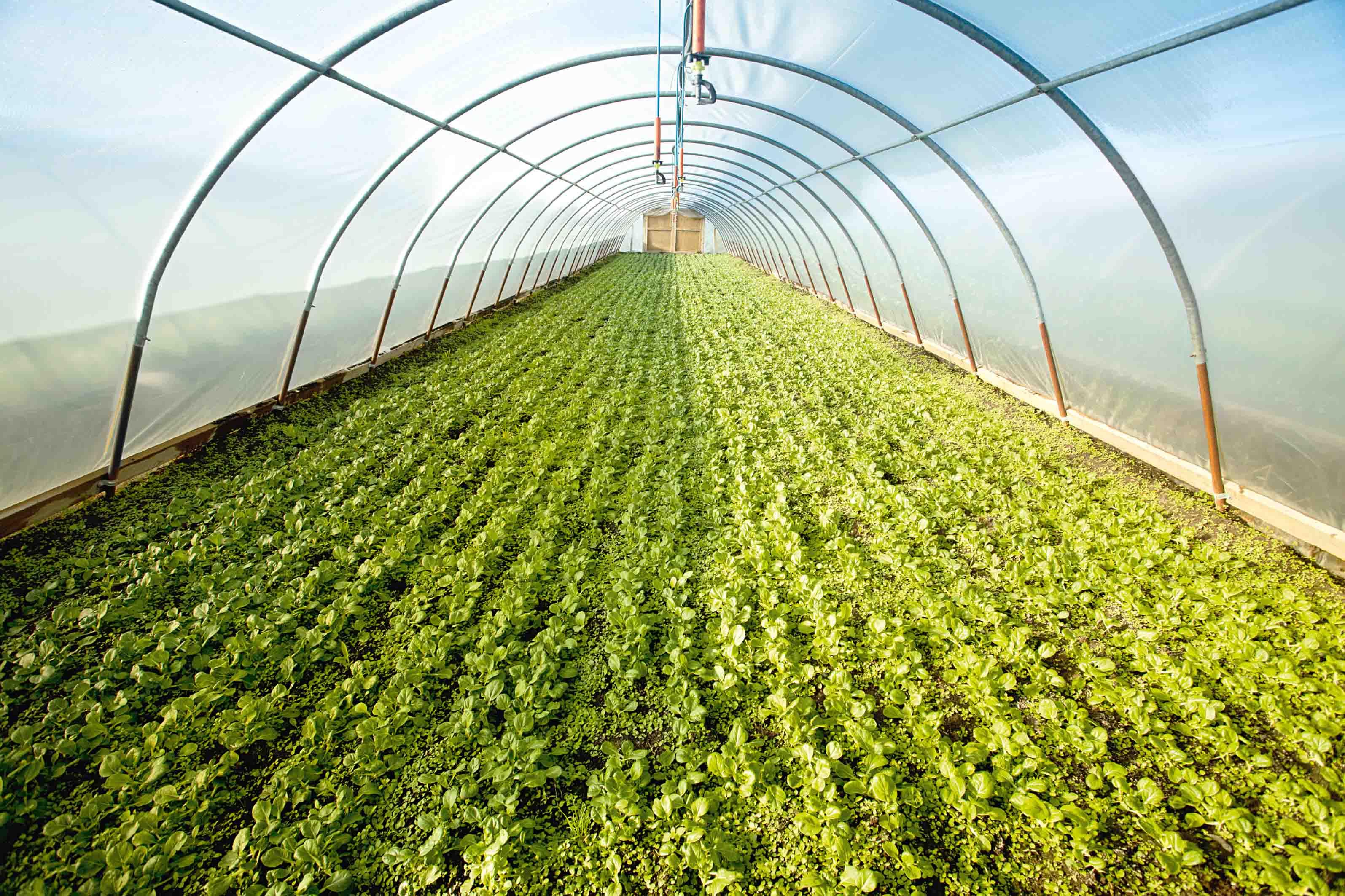 Правила выращивания базилика в теплице. лучшие сорта, особенности посадки и ухода
