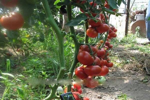 Ранний, крепкий, выносливый: сорт томата «полбиг» по описанию селекционеров и опыту садоводов