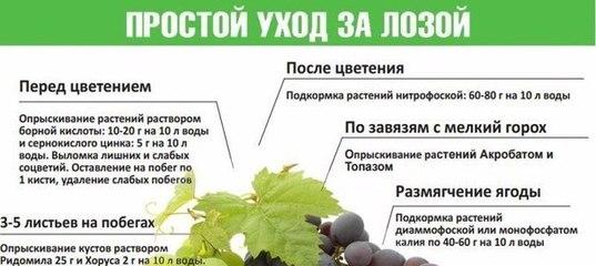 Полив и подкормка винограда весной и летом