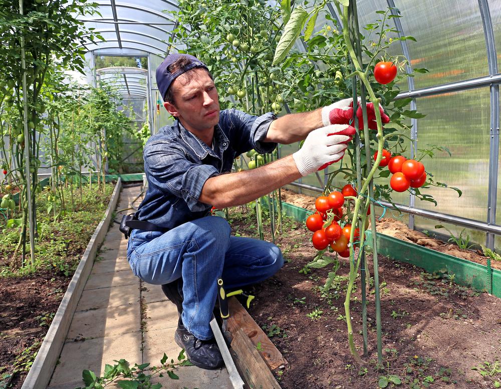 Выращивание помидоров в открытом грунте: технология и агротехника, видео и фото