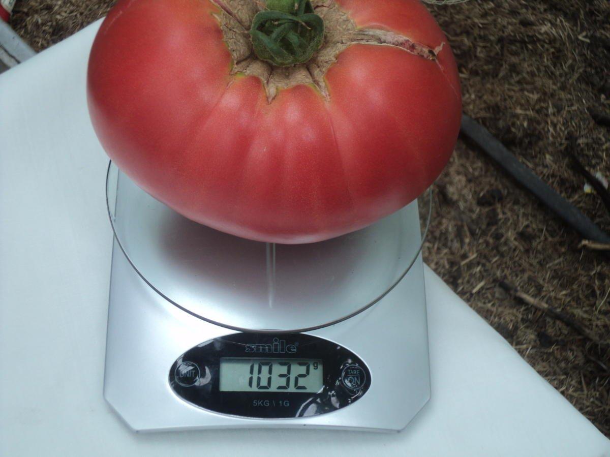 Особенности сорта томата малиновый рай и урожайность