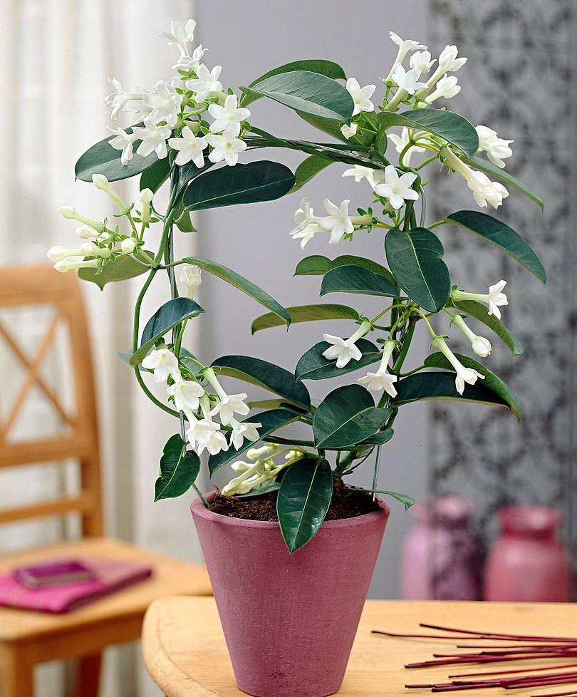 Стефанотис уход в домашних условиях: размножение черенками, почему не цветет, фото комнатного растения.