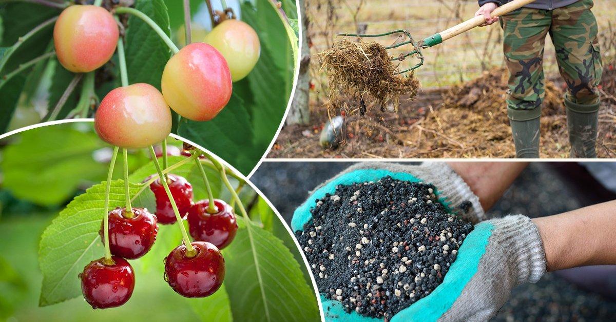 Как правильно посадить черешню весной в открытый грунт: пошаговое руководство