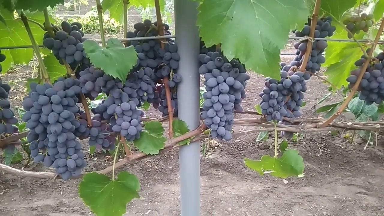Описание сорта винограда юпитер - кишмиш из сша, особенности, достоинства