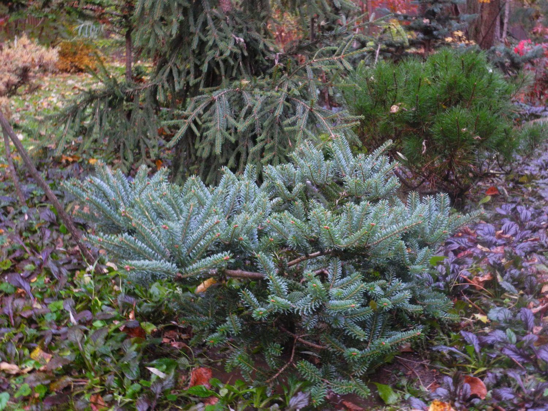 Пихта одноцветная (abies concolor): описание, популярные сорта