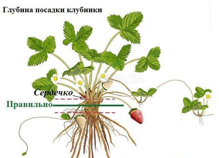 Почему не цветет и не плодоносит черешня? | садоводство и огородничество