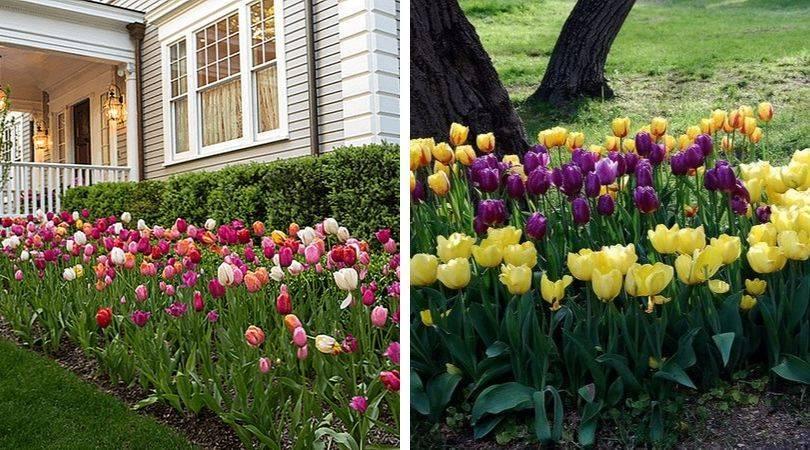 Тюльпаны в ландшафтном дизайне дачного участка, фото