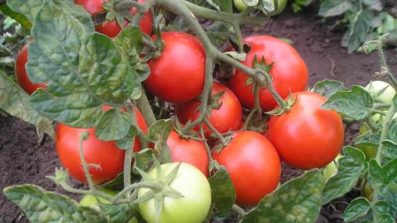 Лучшие сорта томатов для подмосковья: урожайные и устойчивые к болезням